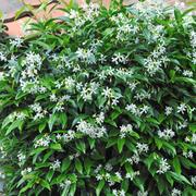 Trachelospermum jasminoides (Large Plant) - 1 x 3 litre potted trachelospermum jasminoides plant