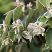 Trachelospermum asiaticum 'Variegata' - 1 x 7cm potted trachelospermum plant
