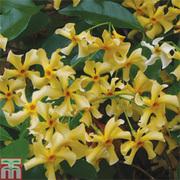 Trachelospermum jasminoides 'Star of Toscana' (Large Plant) - 1 x 3 litre potted trachelospermum jasminoides plant