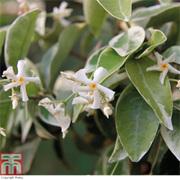 Trachelospermum jasminoides 'Variegatum' (Large Plant) - 1 x 3 litre potted trachelospermum jasminoides plant