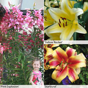 Tree Lily® Collection - 9 top-size Tree Lily® bulbs - 3 of each variety
