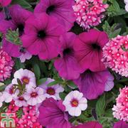 Trixi® 'Cherry Kiss' - 1 Trixi® jumbo plug plant