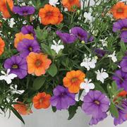 Trixi® 'Spring Valley' - 1 Trixi® jumbo plug plant