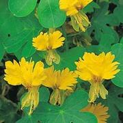 Tropaeolum peregrinum - 1 packet (15 tropaeolum peregrinum seeds)