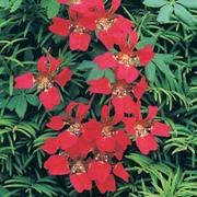 Tropaeolum speciosum - 2 bare root tropaeolum speciosum plants