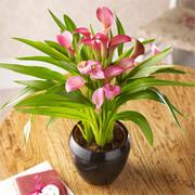 Calla Lily 'Garnet Glow' - Gift - 1 x Calla Lily 'Garnet Glow'