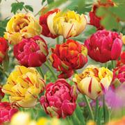 Tulip 'Colour Carnival' - 16 tulip bulbs