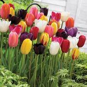 Tulip 'Everlasting' Mixture - 16 tulip bulbs
