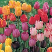 Tulip 'Darwin Mixed' - 16 tulip bulbs