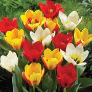 Tulip 'Kaufmanniana Mixed' - 16 tulip bulbs
