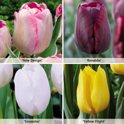Tulip 'Triumph Collection' - 64 tulip bulbs - 16 of each variety