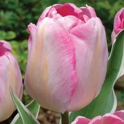Tulip 'New Design' - 16 tulip bulbs