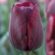Tulip 'Ronaldo' - 16 tulip bulbs