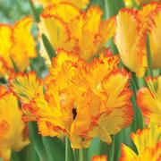 Tulip 'Caribbean Parrot' - 5 tulip bulbs