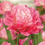 Tulip 'Double Sugar' - 5 tulip bulbs