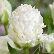 Tulip 'Harbour Lights' - 2 tulip bulbs