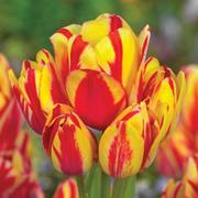 Tulip 'Wonder Club' - 5 tulip bulbs