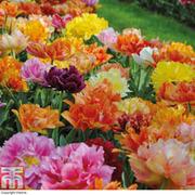 Tulip 'Murillo Mixed' - 32 tulip bulbs