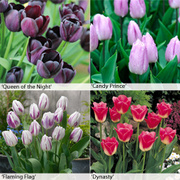 Tulip Bumper Collection - 100 bulbs - 25 of each variety