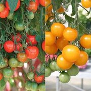 Tomato 'Tumbling Tom' Collection - 2 packets - 1 of each variety (30 tomato seeds in total)