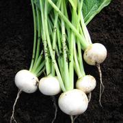 Turnip 'Salad Delight' - 1 packet (250 turnip seeds)