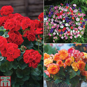 Ultimate Summer Colour Collection - 36 plug plants - 12 of each variety
