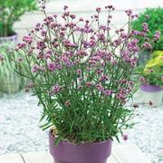 Verbena bonariensis 'Lollipop' - 3 verbena jumbo plug plants