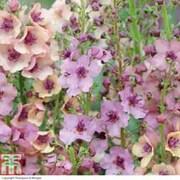 Verbascum x hybrida 'Southern Charm' (Garden Ready) - 15 verbascum garden ready plants