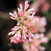 Viburnum x bodnantense 'Charles Lamont' (Large Plant) - 1 x 3.5 litre potted viburnum plant