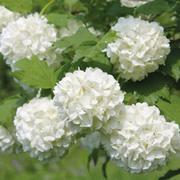 Viburnum opulus 'Roseum' (Large Plant) - 1 x 3.5 litre potted viburnum plant