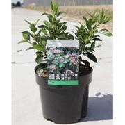 Viburnum tinus (Large Plant) - 1 x 3.6 litre potted viburnum plant