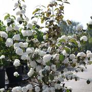 Viburnum plicatum f. plicatum 'Mary Milton' (Large Plant) - 1 x 10 litre potted viburnum plant