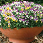Viola x williamsiana 'Sweeties' - 1 packet (25 Viola seeds)