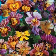 Viola x williamsiana 'Brush Strokes' - 1 packet (30 Viola seeds)