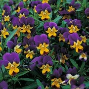Viola tricolor - 1 packet (200 Viola seeds)