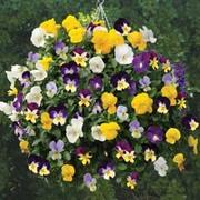 Viola 'Allspice Mixed' - 1 packet (30 Viola seeds)