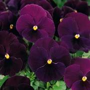 Pansy 'Bingo Deep Purple' F1 Hybrid - 1 packet (20 pansy seeds)