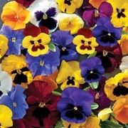 Pansy 'Universal Mixed' F1 Hybrid - 1 packet (35 seeds)