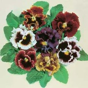 Pansy 'Super Chalon Giants Mixed' - 1 packet (50 seeds)