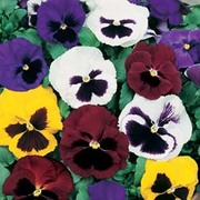 Pansy 'T&M Colossal Flowered Mixed' - 1 packet (130 seeds)