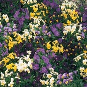 Pansy 'Bedding Supreme Mixed' - 1 packet (50 seeds)