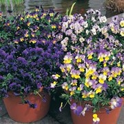 Pansy 'Singing the Blues' - 1 packet (25 pansy seeds)