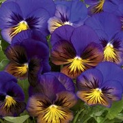 Pansy 'Karma Blue Butterfly' F1 Hybrid - 1 packet (20 pansy seeds)
