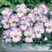 Viola x hybrida 'Magnifico' F1 Hybrid - 1 packet (20 Viola seeds)