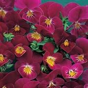 Viola hybrida 'Rose Shades' - 1 packet (30 Viola seeds)