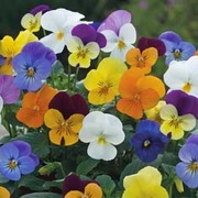 Viola x williamsiana 'Floral Powers Mixed' F1 Hybrid - 1 packet (25 Viola seeds)