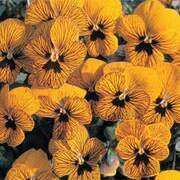 Pansy 'Tiger Eyes' F1 Hybrid - 1 packet (20 pansy seeds)