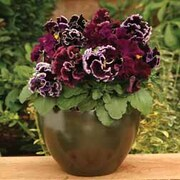 Pansy 'Chalon Supreme Wildberry Mixed' - 1 packet (20 pansy seeds)