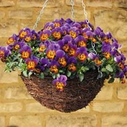 Pansy 'Avalanche Bronze Lavender' (Trailing) - 36 pansy plug plants