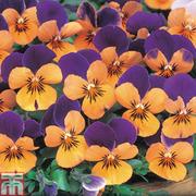 Viola 'Sorbet Orange Jump Up' - 36 Viola plug plants